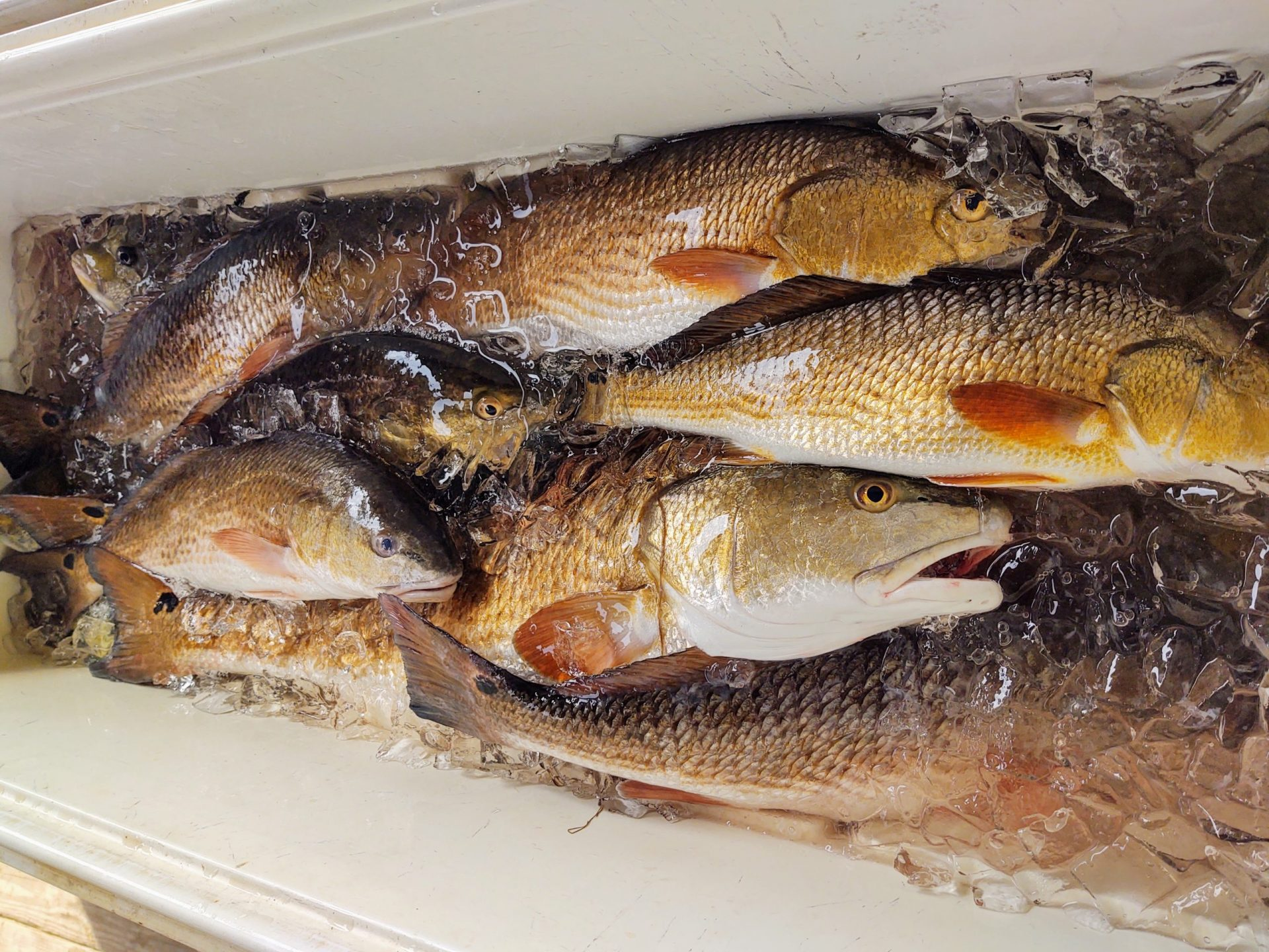 Guided Louisiana Fishing Charter - Redfish Nation - Redfish In Ice Chest